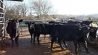 SOLD ABERDEEN ANGUS ORGANIC STORE CATTLE