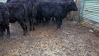 SOLD ORGANIC ANGUS STORE CATTLE