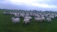 SOLD IN-LAMB THEAVES/EWES