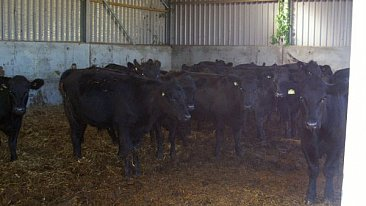 SOLD ORGANIC STEERS/HEIFERS