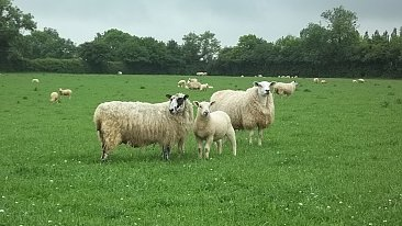 SOLD...... Complete Flock Dispersal