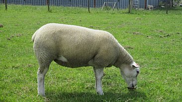 SOLD......... PEDIGREE TEXELS