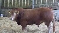 SOLD....... PEDIGREE LIMOUSIN BULL