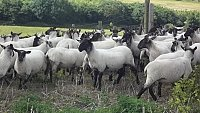 SOLD  Suffolk X Mules and Mule Theaves