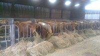 SOLD....... Blond/Limousin/ Devon  Store Cattle