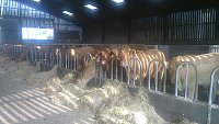 SOLD....... Blond/Limousin/ Devon  Store Cattle