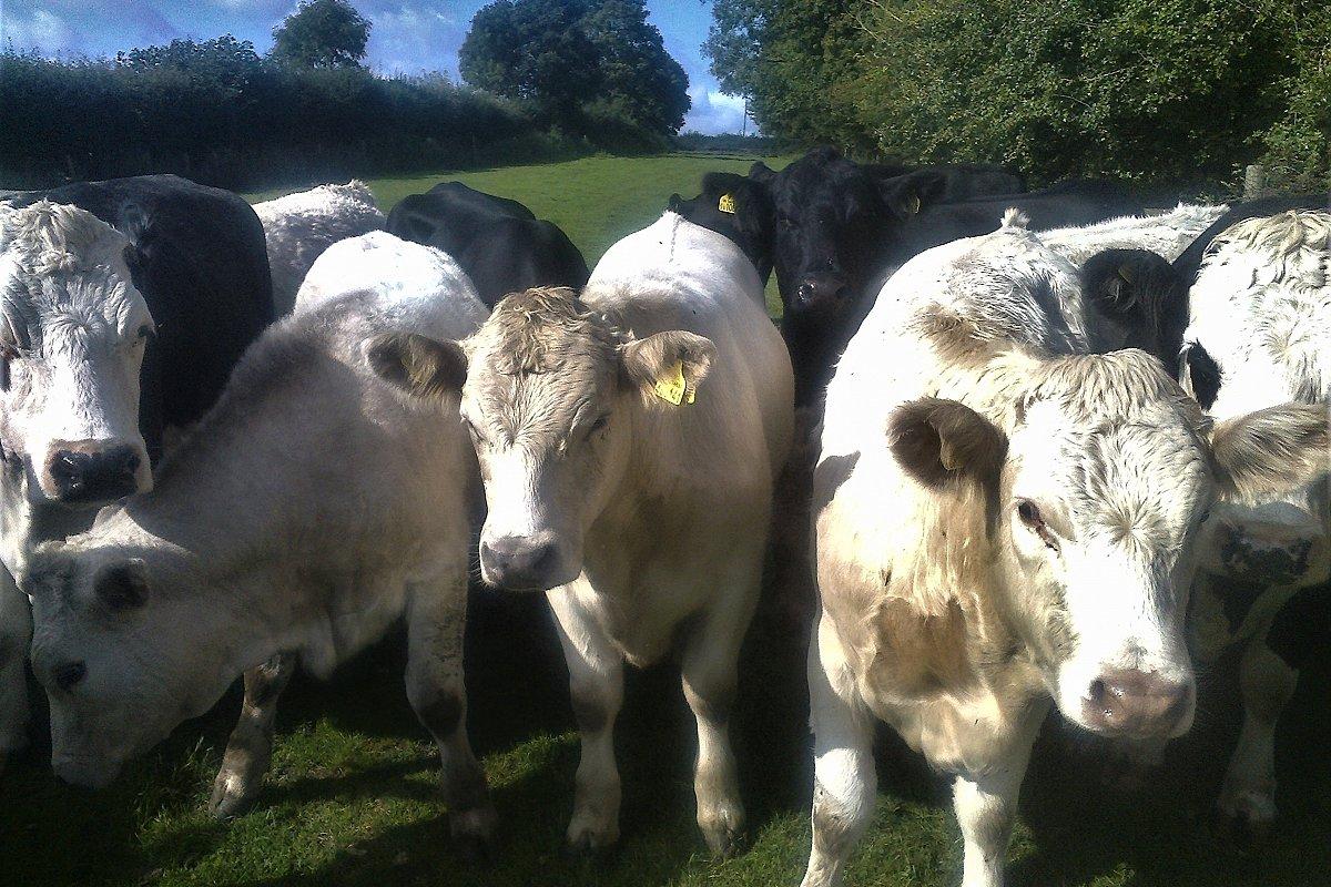 SOLD  Single Suckle Charolais X Store Cattle