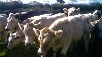 SOLD  Single Suckle Charolais X Store Cattle