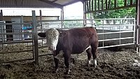 SOLD............... Young Pedigree Hereford Bulls