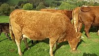 SOLD............Cows with Calves