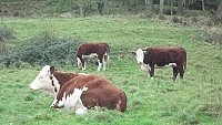 SOLD .............. Small herd of Pedigree Herefords