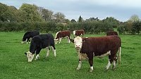 SOLD..........  Hereford Store Cattle