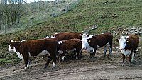 SOLD....... Pedigree Hereford Cows with calves at foot