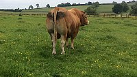 ...SOLD.... Pedigree Limousin bull.