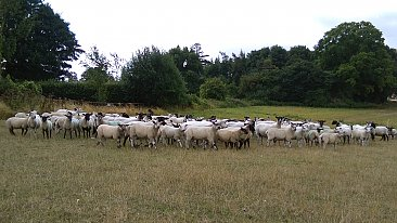 FOR SALE>>>> Genuine Flock Dispersal