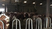 ....SOLD...  ORGANIC Beef Shorthorn X Hereford