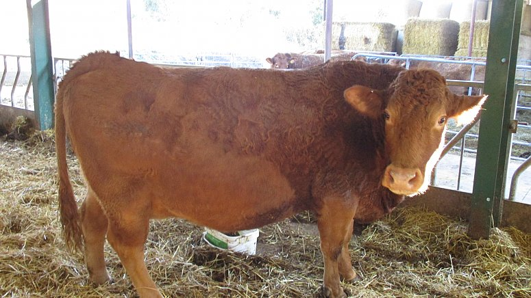 SOLD  - SOUTH DEVON HERD (breeding stock)