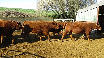 FOR SALE SOUTH DEVON HERD (Store stock)