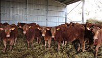 SOLD SOUTH DEVON HERD (Store stock)