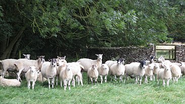FLOCK DISPERSAL OF EWES AND RAMS