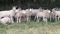 >>SOLD>>FLOCK DISPERSAL OF EWES AND RAMS