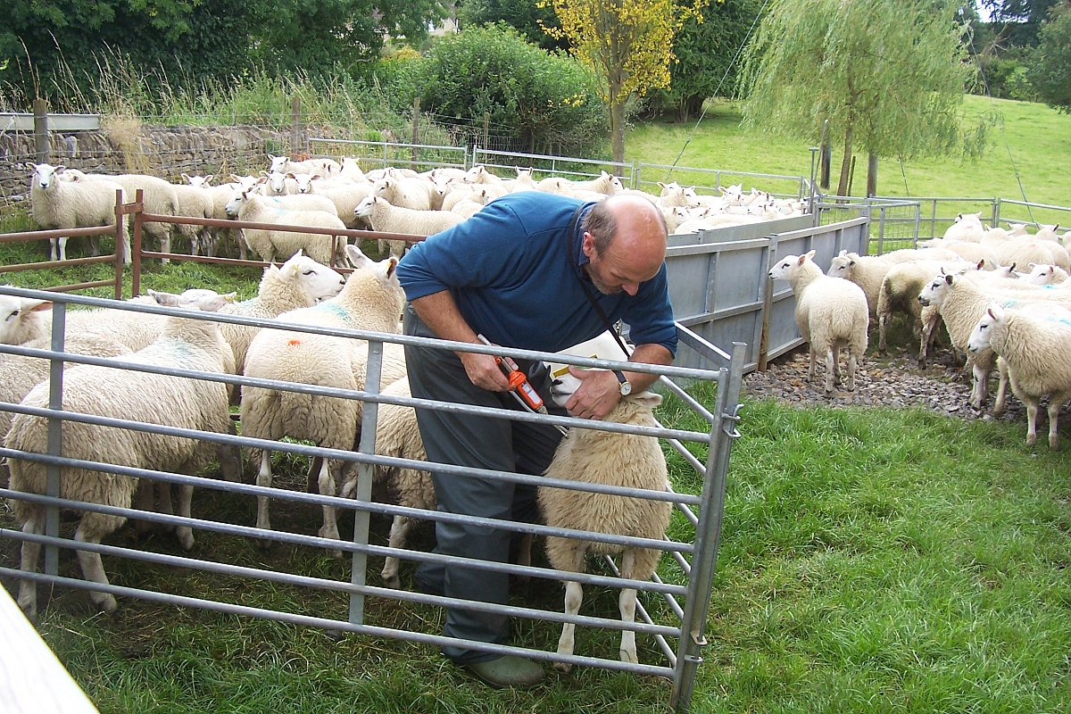 WANTED - >>STORE LAMBS PROMPT PAYMENT. !