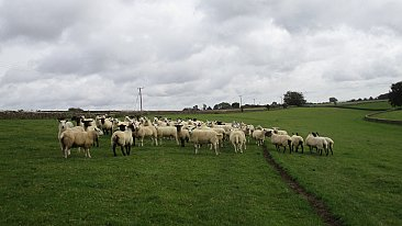 FOR SALE - FLOCK DISPERSAL  299 BREEDING EWES