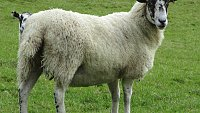 - SOLD - FLOCK DISPERSAL  299 BREEDING EWES