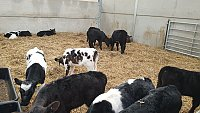 FOR SALE - TOP QUALITY  REARED CALVES