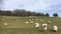 ...SOLD...IN-LAMB NORTH COUNTRY MULE YEARLINGS