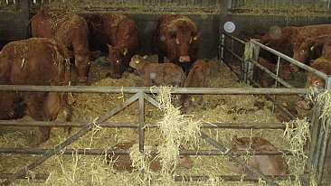 FOR SALE Suckler Cows and Calves Dispersal Sale