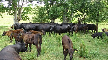 FOR SALE MACARONI FARM  ORGANIC SUCKLER HERD