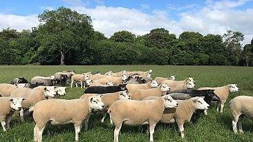 FOR SALE TEXEL RAMS