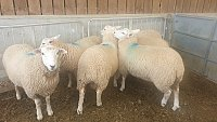 >>SOLD - LLEYN X NEW ZEALAND ROMNEY RAM LAMBS