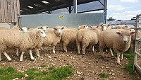 >>SOLD- LLEYN X NEW ZEALAND ROMNEY EWE LAMBS
