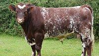 FOR SALE Pedigree Shorthorn Bull