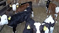 SOLD     YOUNG CALVES
